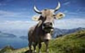 مقایسهای کامل میان شیر گاو و شیر بز