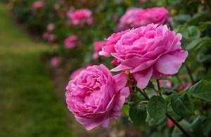 آیا مصرف گل محمدی در دوران بارداری مفید است؟
