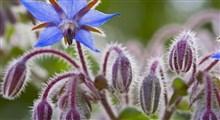آنچه لازم است درباره مصرف گل گاوزبان بدانید