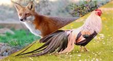 قسم روباه را باور کنیم یا دم خروسو؟ ضرب المثلی با پیامهای سیاسی و اجتماعی