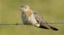 کو کو ، پرنده در حال انقراض