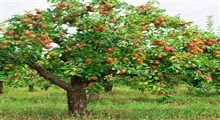 مثل درخت میوه