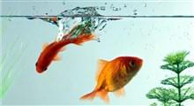 ماهی قرمز چگونه در سفره ی عید ماندگار شد؟