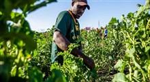 بررسی علل بازده کم تولید کشاورزی و ایمنی غذایی در آفریقا