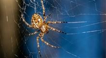 عنکبوت، و ایده جدیدی برای ساخت اندام های روبات