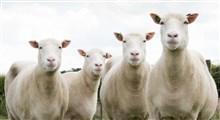 سن تقویمی و سن بیولوژیکی حیوانات شبیه سازی شده