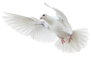 چرا کبوتر یک نماد صلح و عشق است