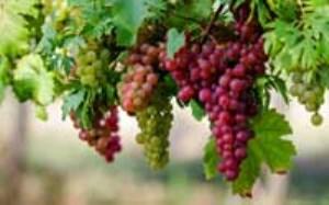 آنچه از خواص انگور باید می دانید(بخش اول)