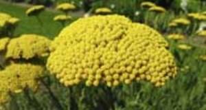 معرفی گیاه بومادران و خواص درمانی آن (بخش دوم)