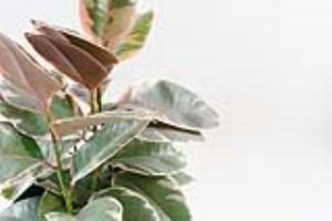 روش های نگهداری گل فیکوس الاستیکا (بخش اول)