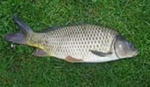 فواید ماهی کپور برای سلامتی (بخش دوم)