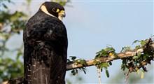 نبرد تمام عیار بین قدرت بینائی شاهین و حس شنوائی خفاش برای بقاء