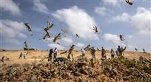 هجوم ملخ ها در شهرستان های استان بوشهر