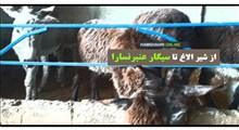 عجایب مزرعه پرورش الاغ در یک قدمی تهران