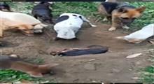 فیلمی جالب از برگزاری مراسم خاکسپاری یک سگ توسط اعضای گلهاش
