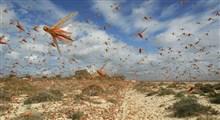 هجوم ملخ صحرایی به نیکشهر