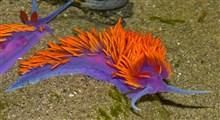 یکی از زیبای های خلقت لیسهٔ دریایی