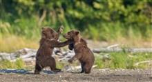 لحظاتی بسیار زیبا و دلنشین از بازیگوشی سه توله خرس قهوهای در البرز مرکزی