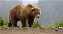 رویارویی فیلمبردار و یک خرس قهوهای بزرگ در جنگلهای نوشهر