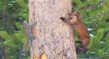 تعقیب و گریز دیدنی سمور و سنجاب بر روی درخت