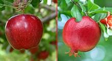 طب اسلامی/ میوه های هضم کننده غذا