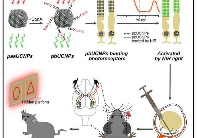 این انتزاع گرافیکی نشان می دهد که چگونه ذرات قابل تزریق چسبان گیرنده نور با توانایی تبدیل فوتون ها به فرم های با انرژی بالا به موش اجازه می دهند تا دید مادون قرمز را بدون ایجاد اشکال برای دید طبیعی خود و مرتبط با آن ایجاد کند.