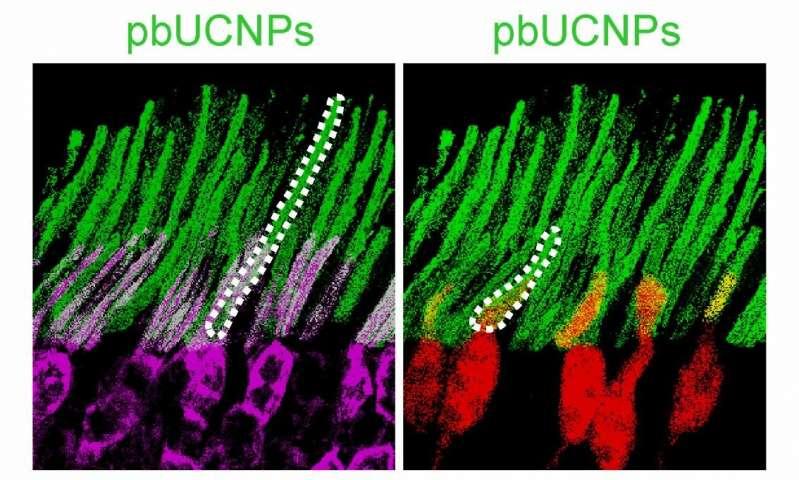 این تصویر نانوذرات را در رنگ سبز، در حال اتصال به میله ها (بنفش) و مخروطها (قرمز) از شبکیه چشم نشان میدهد.