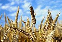 تاثير نسبت هاي مختلف فاضلاب، کود شيميايي و کود حيواني بر خصوصيات زراعي عملکرد و اجزاي عملکرد گندم