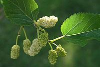 گياهان و درختان مقدس در فرهنگ ايراني