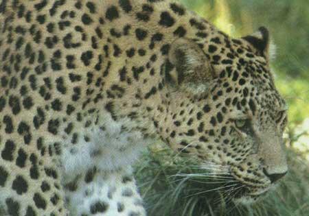 دانلود راهنمای صحرایی پستانداران ایران