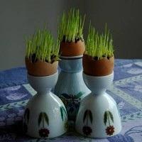 سبزه با استفاده از پوسته های تخم مرغ