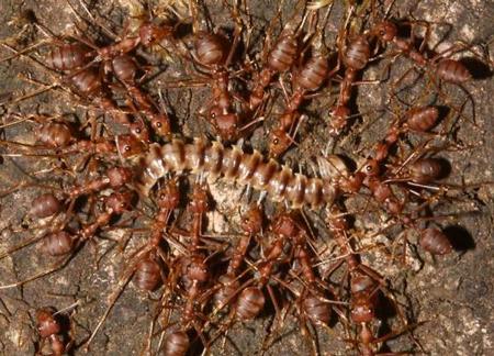 انواع مورچهها