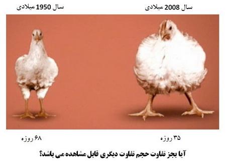 آیا می دانید مرغی که می خورید چیست؟